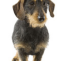 Wire-haired Dachshund by Jean-Michel Labat