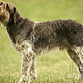 Wirehaired Pointing Griffon by Jean-Michel Labat