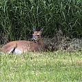 Wisconsin Doe Resting by Jayne Gohr