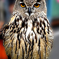 Wise Forest Mountain Owl Spain by Colette V Hera  Guggenheim