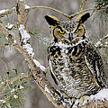 Wise Old Great Horned Owl by LeeAnn McLaneGoetz McLaneGoetzStudioLLCcom
