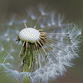 Wispy Dandelion Fluff by Kathy Clark