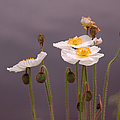 Wispy White Floral by Suzanne Gaff