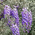 Wisteria Blossom Clusters Abstract by Byron Varvarigos
