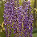 Wisteria Clusters by Mel Hensley