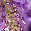 Wisteria Macro 1 by Claudia Goodell