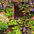 Wisteria On A Home In Zellenberg France 3 by Greg Matchick