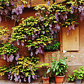 Wisteria On Home In Zellenberg 4 by Greg Matchick