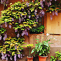 Wisteria On Home In Zellenberg France by Greg Matchick