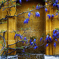 Wisteria Wall by Mick House