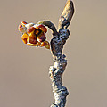 Witch Hazel Springtime Twig - Hamamelis by Mother Nature