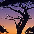 Witch Tree Monterey California by Jim Corwin