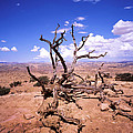 Withered Tree Paria Canyon by Rich Franco