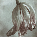 Withering Tulips 4 by Alexander Kunz