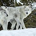 Wolf - Friend by Fran Riley