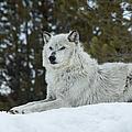 Wolf - Resting by Fran Riley