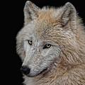 Wolf Bride by Joachim G Pinkawa