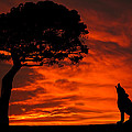 Wolf Calling For Mate Sunset Silhouette Series by David Dehner