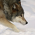 Wolf Dreams by Inspired Nature Photography Fine Art Photography