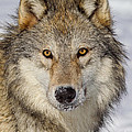 Wolf Face To Face by Jerry Fornarotto