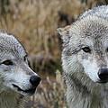 Wolf Glare II by Athena Mckinzie