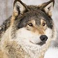 Wolf by Gry Thunes