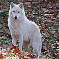 Wolf In Autumn by Sandy Keeton
