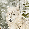 Wolf In Snow by Donna Doherty