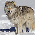Wolf In Snow by Jerry Fornarotto