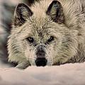 Wolf In Snow by Steve McKinzie