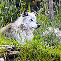 Wolf In The Grass by Jon Berghoff