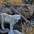 Wolf In The Wild by Athena Mckinzie