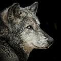 Wolf by Paul Neville