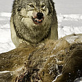 Wolf Protecting Kill by Jerry Fornarotto
