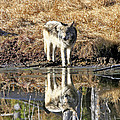 Wolf Pup Reflection by Michael Waller