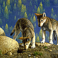 Wolf Pups - Anybody Home by Crista Forest