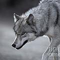 Wolf by Ron Sanford