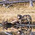 Wolf by Scott Moss