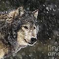Wolf - Snow Storm by Wildlife Fine Art