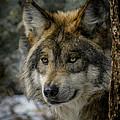 Wolf Upclose 2 by Ernie Echols
