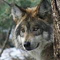 Wolf Upclose by Ernie Echols