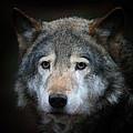 Wolf by Vladimir Meshkov