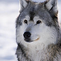 Wolf Winter Portrait by Mark Newman