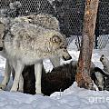 406p Wolves At Play by NightVisions