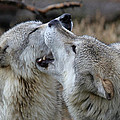 Wolves Playing by Athena Mckinzie