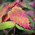 Wonder Leaf by Bill Pevlor