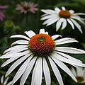 Wonderful White Cone Flower by Kathy DesJardins