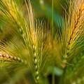 Wonderous Wild Wheat by Venetta Archer