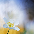 Wood Anemone Flower Switzerland by Heike Odermatt