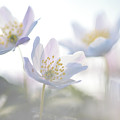 Wood Anemone Flowers Netherlands by Heike Odermatt